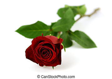 rosa, singolo, sfondo bianco, rosso