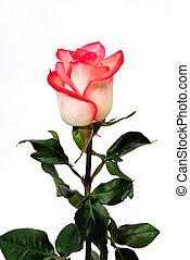 rosa, singolo, sfondo bianco, white-pink