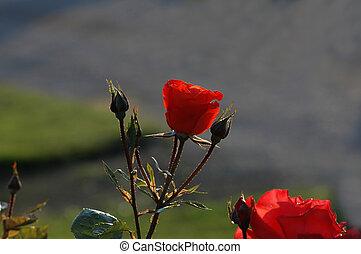 rosa, sob, a, verão, sol