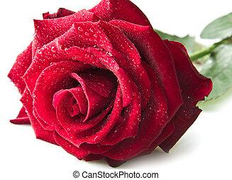 rosa, sola flor, rojo