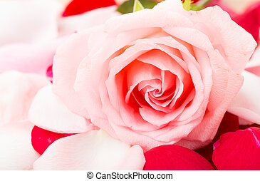 rosa subió, besides, pétalo