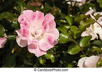 rosa subió, cabeza, flor, detalle