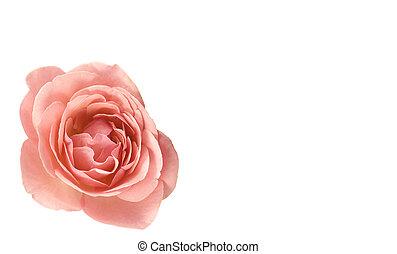 rosa subió, día de valentines