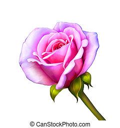 rosa subió, flor, aislado, blanco, plano de fondo