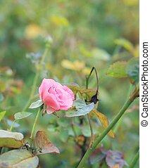 rosa subió, flores