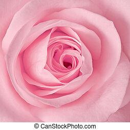 rosa subió, imagen, arriba, solo, cierre