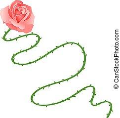 rosa, talo longo