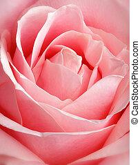 rosa, tillsluta, ro