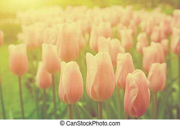 rosa, tulipán, flores, en el jardín, en, día soleado, en, spring., vendimia