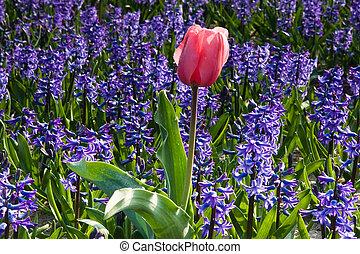 rosa, tulipán, y, púrpura, jacintos