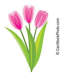 rosa, tulipanes, aislado, blanco, plano de fondo