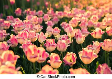 rosa, tulipanes, en, el, luz del sol, en, sunset.