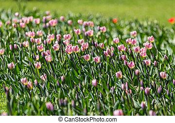 rosa, tulipanes, en, primavera, jardín