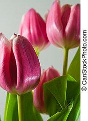 rosa, tulipanes