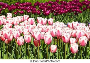 rosa, tulipanes, y, luz del sol, en, primavera, jardín