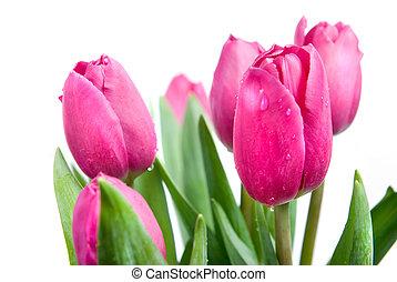 rosa, tulips
