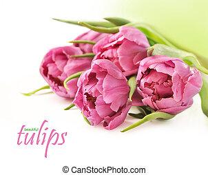 rosa,  Tulips, bianco, fondo