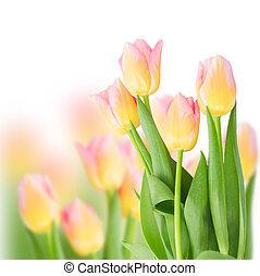 rosa,  Tulips, bianco