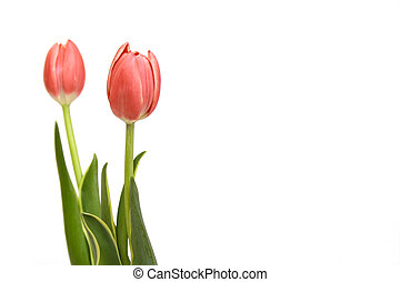 rosa, tulips, bianco, isolato