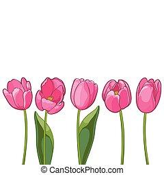 rosa, tulips, illustrazione, fondo., vettore, bianco