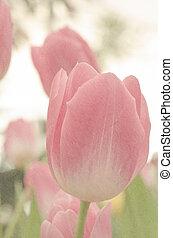 rosa, tulpan, mjuk, färga fond