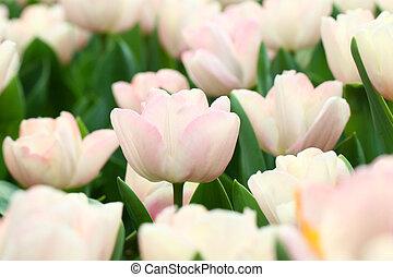 rosa, tulpaner, bakgrund