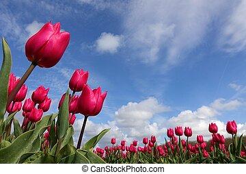 rosa, tulpaner, blomningen