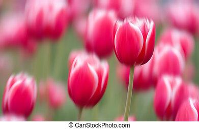 rosa, tulpaner