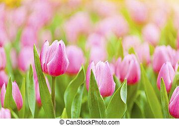 rosa, tulpe feld