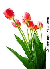 rosa, tulpen