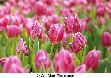 rosa, tulpen, garten, mit, dof