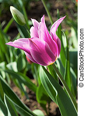 rosa, tulpenblüte, in, a, kleingarten