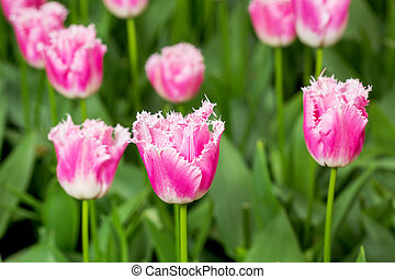 rosa, tulpenblüte, in, der, feld