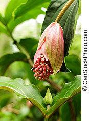 rosa, uva, medinilla, magnifica, melastomataceae