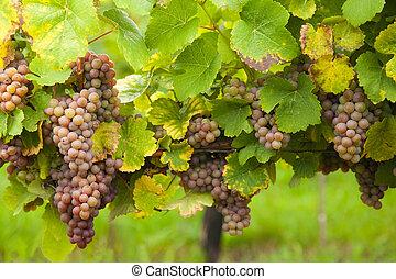 rosa, uvas de vino, en, viña