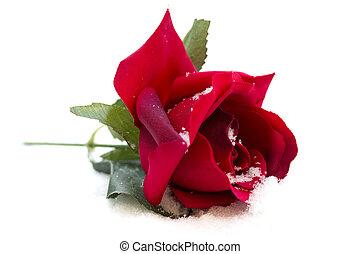 rosa vermelha, fundo branco