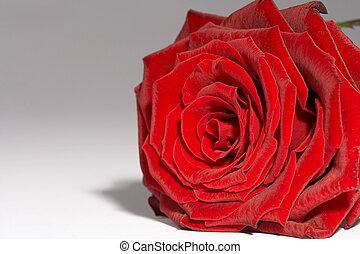 rosa vermelha, -, rote, rosa