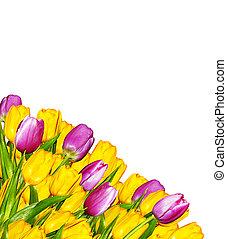 rosa y amarillo, tulipanes