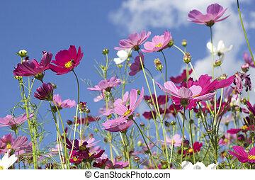 rosa, y, blanco, cosmos, flores, en, el, naturaleza