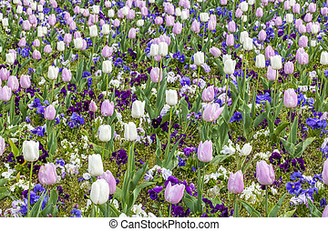 rosa, y, blanco, tulipanes, campo, en, estación del resorte