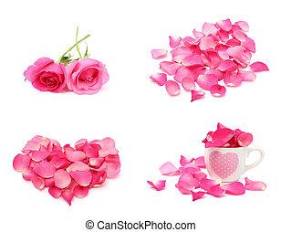 rosa, y, pétalo, aislado, blanco, plano de fondo