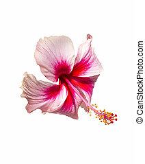 rosa y rojo, hibisco, flor, blanco