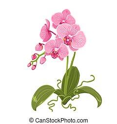 rosafarbene blume, freigestellt, phalaenopsis, wurzeln,...