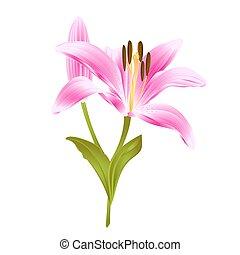 rosafarbene blume lilie rosafarbene blume abbildung hintergrund wei e lilie. Black Bedroom Furniture Sets. Home Design Ideas