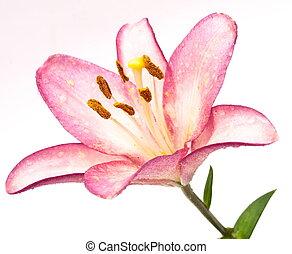 rosafarbene lilie