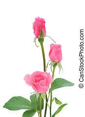 rosafarbene rosen, freigestellt