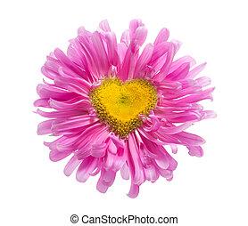rosafarbenes gänseblümchen, mit, herz- form