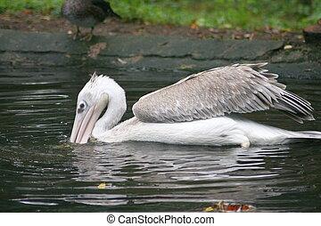 Rosapelikan White Pelican (Pelecanus onocrotalus) - Young...