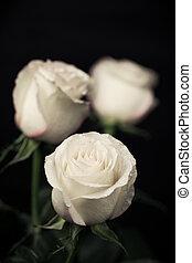 rosas, bege