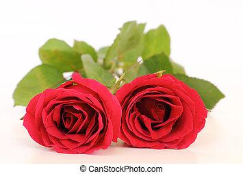 rosas, branca, dois, fundo, vermelho